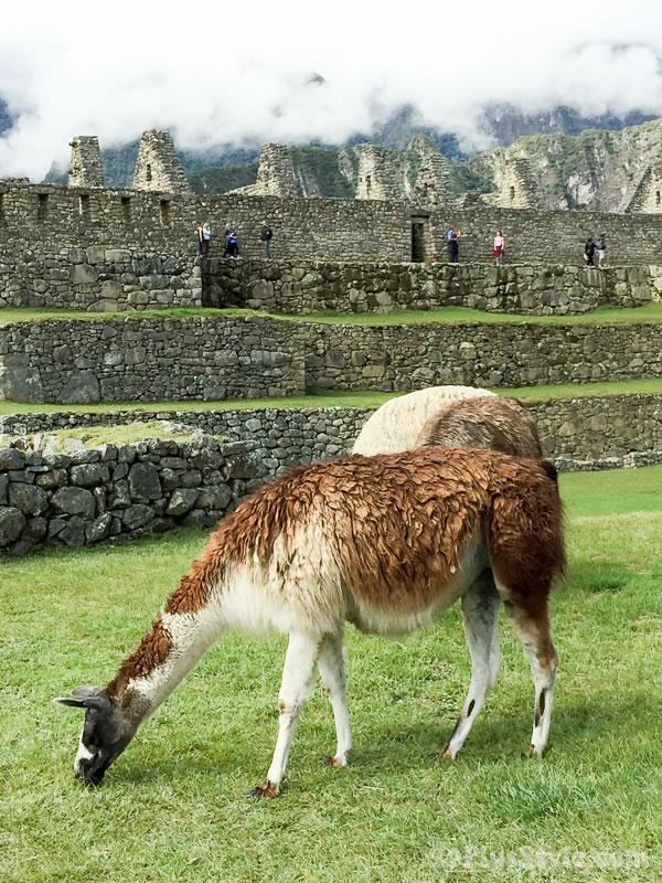 Lama's in South America | 40plusstyle.com
