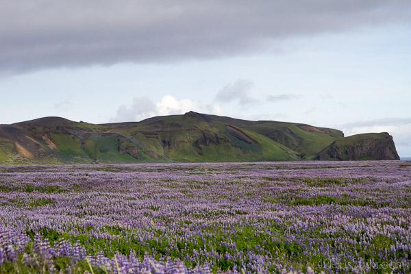 Dream destination: Lavender field in Iceland | 40plusstyle