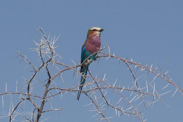 Colorful bird in Etosha Park Namibia | 40plusstyle.com