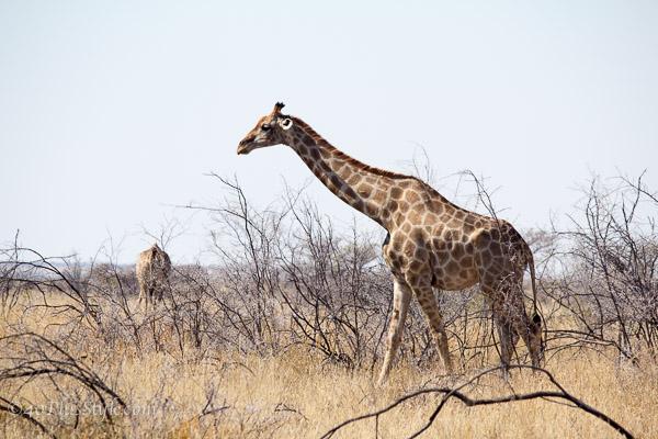 A gorgeous giraffe in Etosha Park Namibia | 40plusstyle.com