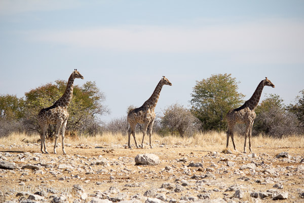Giraffes in perfect synchronisation | 40plusstyle.com