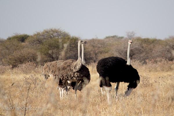Ostriches in Etosha Park Namibia | 40plusstyle.com