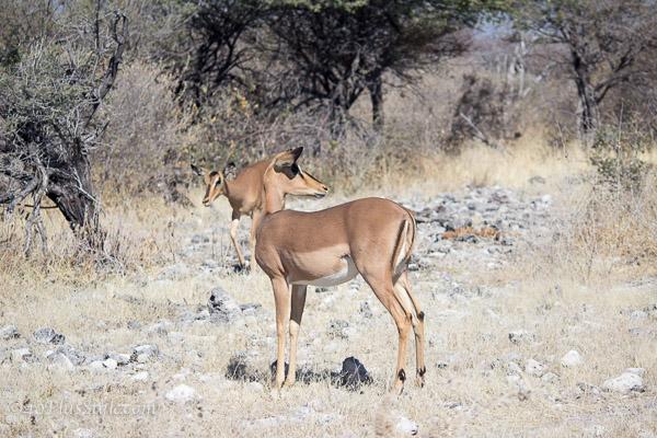 A dear in Etosha Park Namibia | 40plusstyle.com