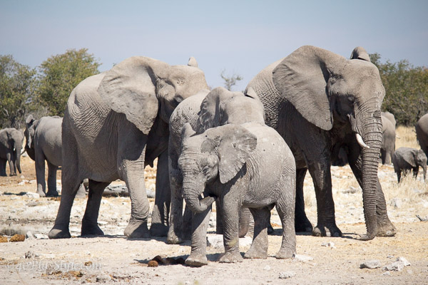 A group of elephants in Etosha Park Namibia | 40plusstyle.com