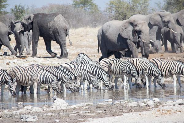 A group of elephants and zebras in Etosha Park Namibia | 40plusstyle.com
