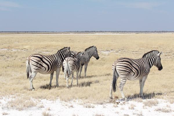 zebras in Etosha Park, Namibia, Africa | 40plusstyle.com