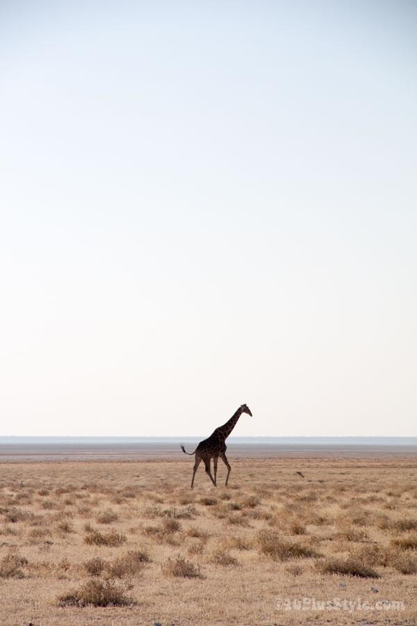 giraffe in Etosha Park Namibia, Africa | 40plusstyle.com