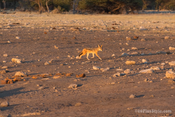 jackall in Etosha Park Namibia, Africa | 40plusstyle.com
