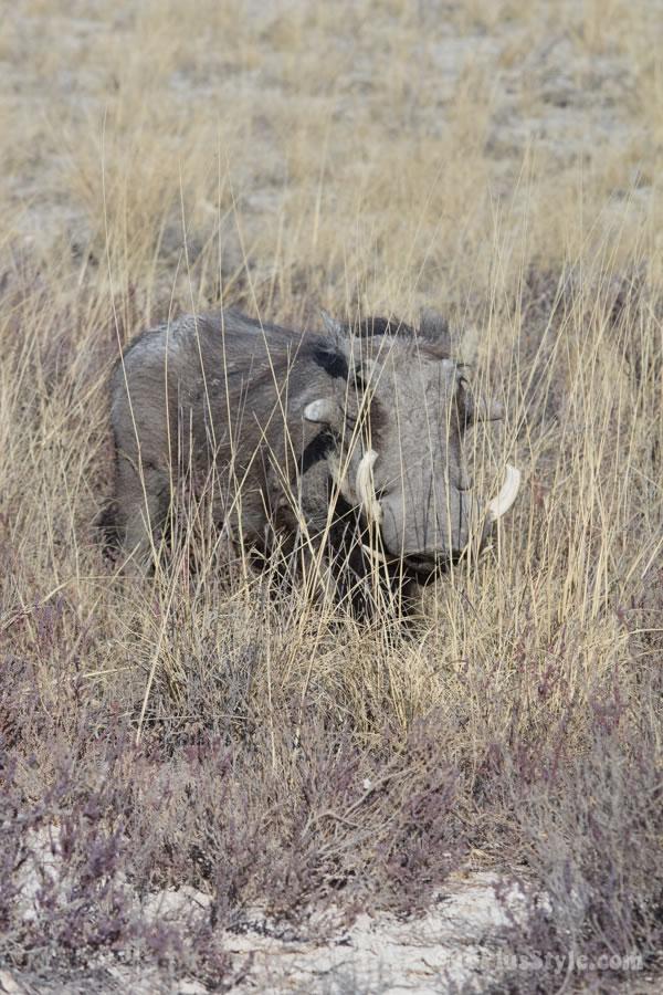 warthos in Etosha Park Namibia, Africa | 40plusstyle.com