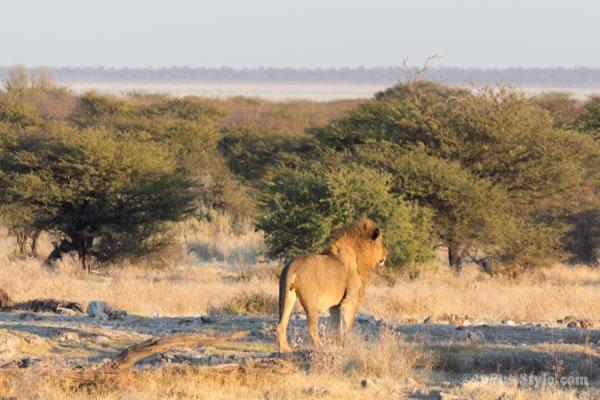 male lion in Etosha Park Namibia, Africa | 40plusstyle.com