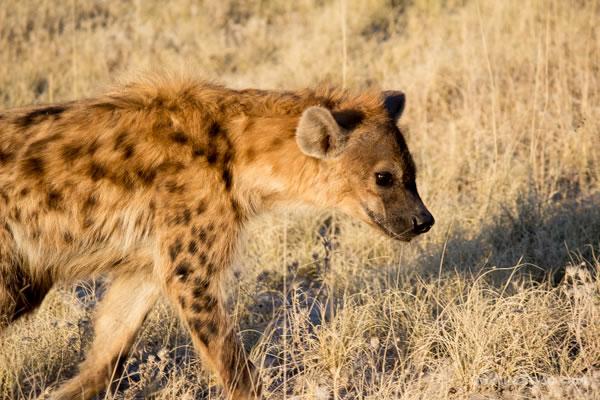 closeup of hyena in Etosha Park Namibia, Africa | 40plusstyle.com