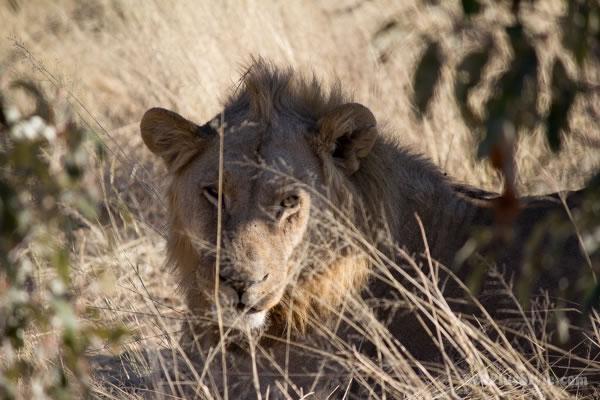 lion in Etosha Park Namibia, Africa | 40plusstyle.com
