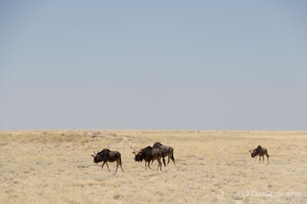 Wildebeast in Etosha Park Namibia, Africa | 40plusstyle.com