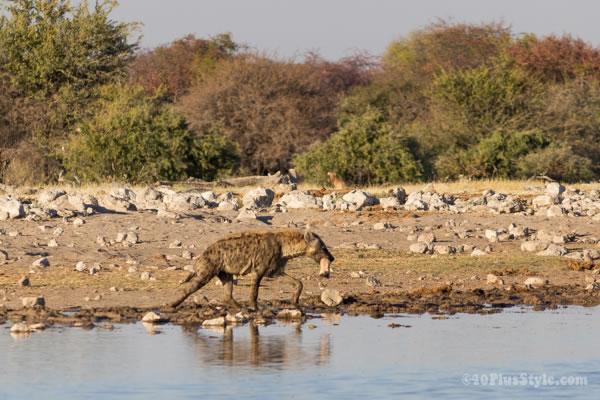 hyena in Etosha Park Namibia, Africa | 40plusstyle.com