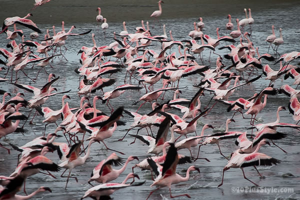 pink flamingoes spreading their wings | 40plusstyle.com