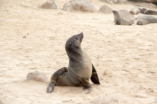 Seal in Cape Cross Reserve Namibia | 40plusstyle.com