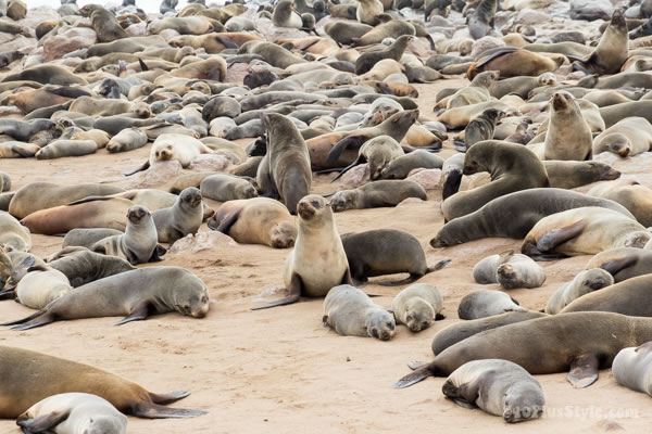 Seals resting at Cape Cross Reserve in Namibia | 40plusstyle.com
