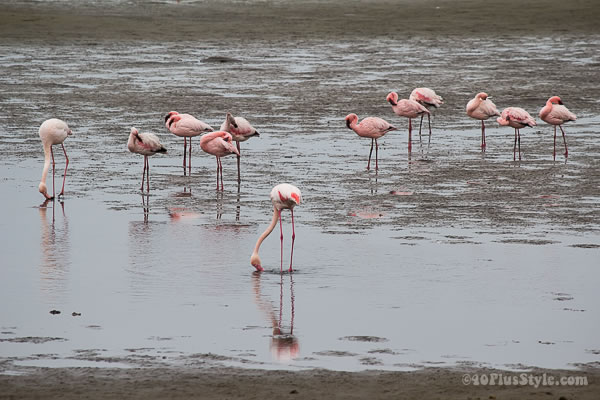 pink flamingoes in Walvis Bay, Namibia | 40plusstyle.com